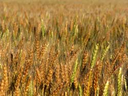 kansas wheat field