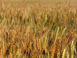 kansas wheat field